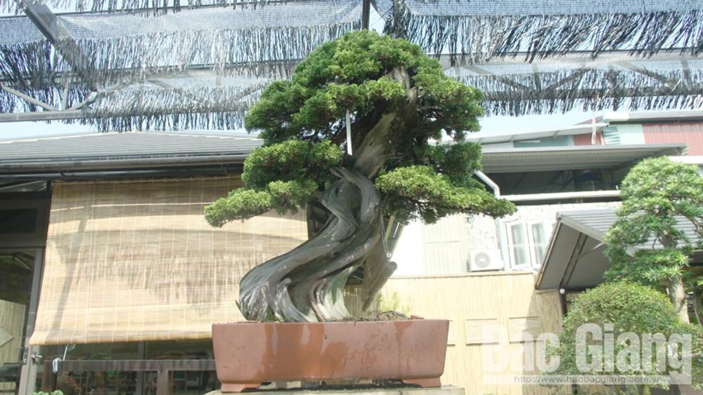 Độc đáo duyên tùng Nhật Bản 700 tuổi