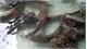 Đàn cá trê nặng gần chục kg mỗi con trong bệnh viện ở TP Hồ Chí Minh