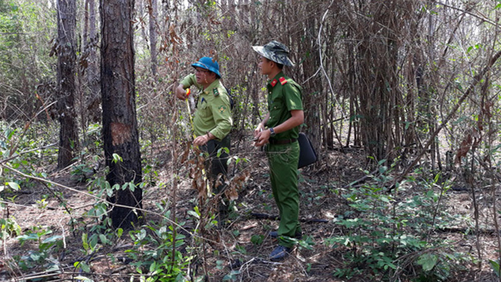 Vụ hàng ngàn cây thông ở Lâm Đồng bị hạ độc, khởi tố, vụ án hủy hoại tài sản