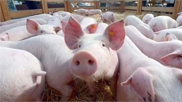 Dịch tả lợn châu Phi lan tới 29 tỉnh, thành phố
