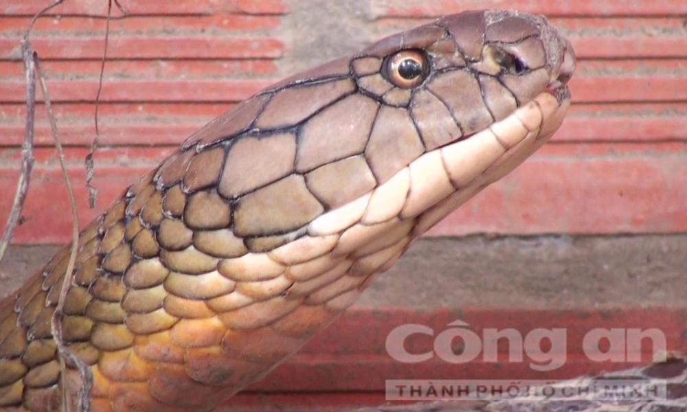 rắn hổ mây, cặp rắn hổ mây, loài rắn khổng lồ, rắn hổ mây ở núi Cẩm, núi Cấm, xã An Hảo, huyện Tịnh Biên, tỉnh An Giang