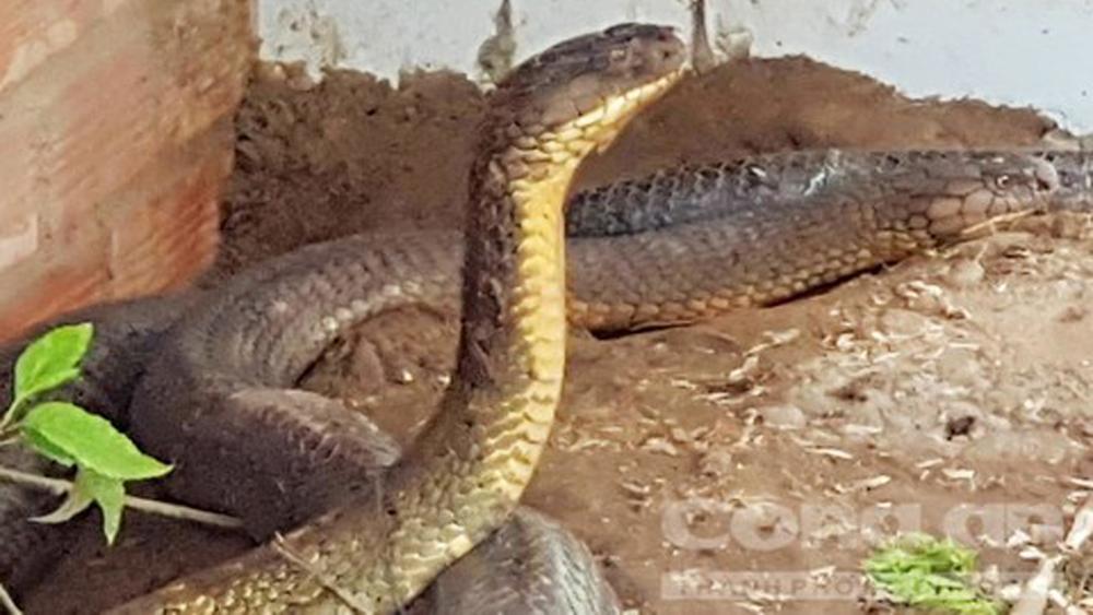 Chuyện ly kỳ về loài rắn khổng lồ ở núi Cấm