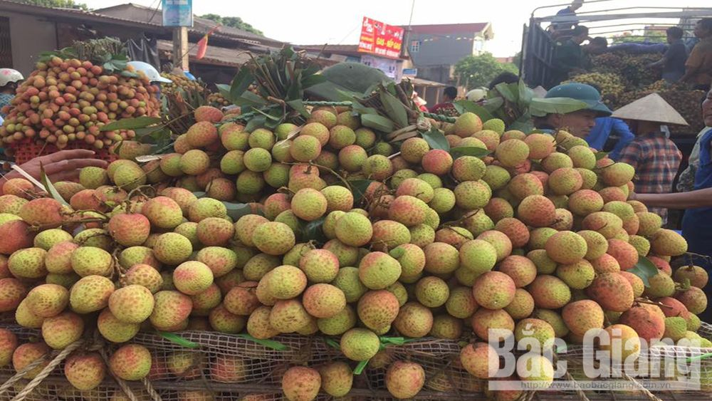 VietGAP lychee in Tan Yen enjoys good price