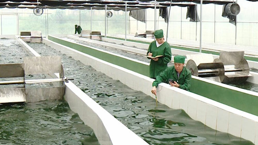 Việt Nam nhân nuôi thành công chủng giống tảo xoắn Spirulina