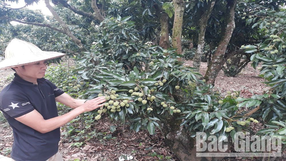 Luc Ngan firmly maintains quality of fruit orchard
