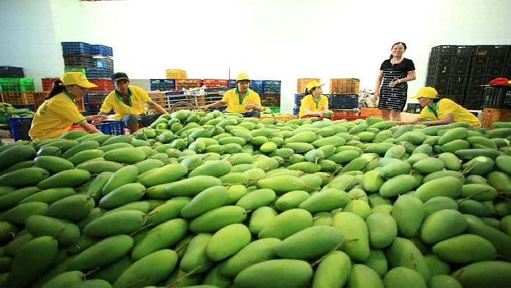 Firm exports 71 tonnes of mango to US