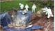 Xử lý nghiêm các trường hợp khai khống, gian lận trong tiêu hủy lợn mắc bệnh nhằm trục lợi