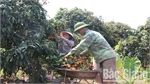 Early ripen lychee enjoys high price and good consumption