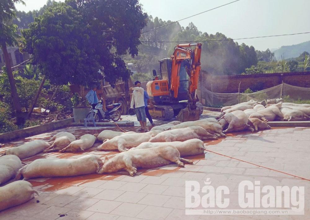 phòng chống bệnh dịch tả lợn châu phi, xã hương sơn Tiêu hủy 331 con lợn, trang trại