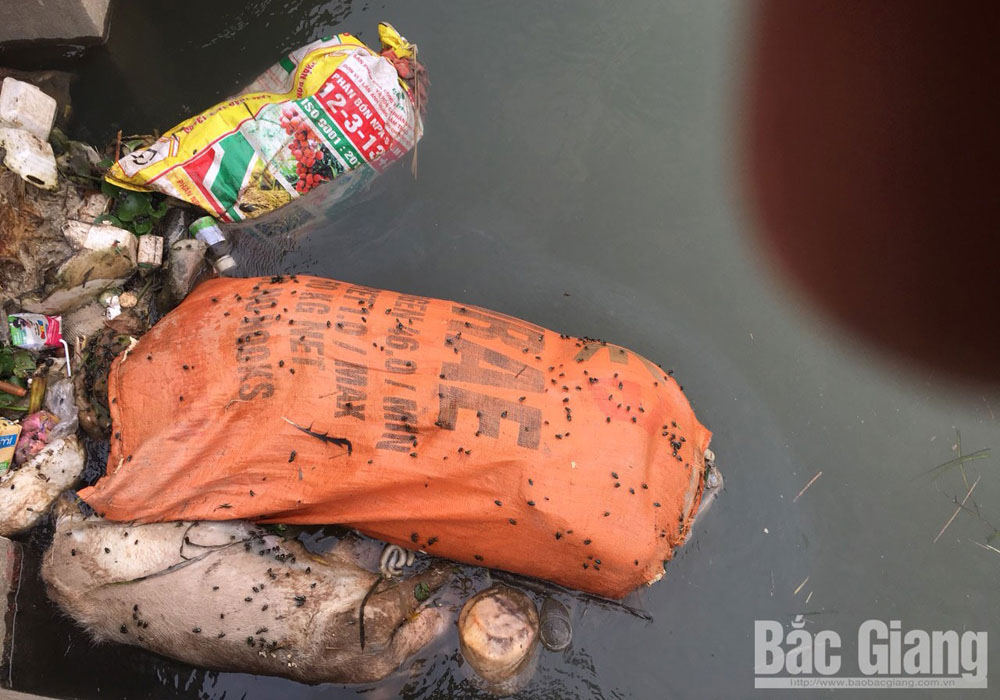 xác lợn trôi trên kênh mương, dịch tả lợn châu Phi, TP Bắc Giang, Bắc Giang
