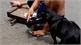 Chú chó đi bán vé số giúp ông chủ khuyết tật gây sốt cộng đồng mạng