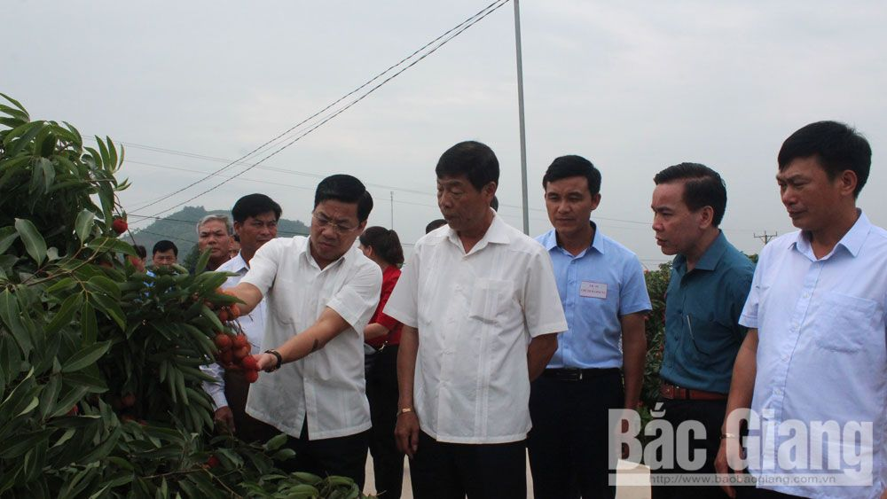 Secretary Bui Van Hai instructs to focus on lychee consumption