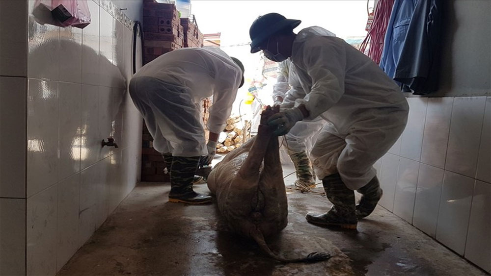 52 tỉnh thành, dịch tả lợn Châu Phi,  lợn bị tiêu hủy