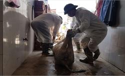 52 tỉnh, thành phố có dịch tả lợn châu Phi