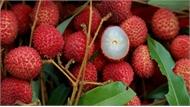 Bắc Giang xuất khẩu 50% vải quả sang Trung Quốc: Đàng hoàng, tấp tểnh vui