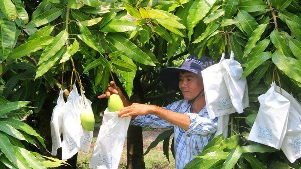 Moc Chau strives to export up to 500 tonnes of mango to China