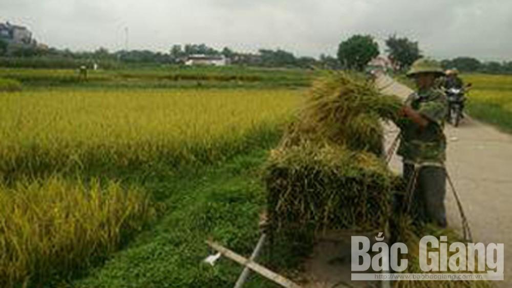 Năng suất lúa chiêm xuân ở Lục Nam đạt 63,2 tạ/ha