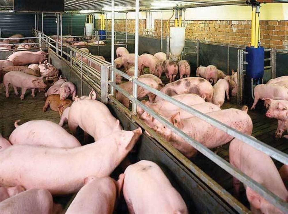 Thịt lợn, bất ngờ tăng giá mạnh, thương lái, săn hàng, bà con không bán, thịt lợn bất ngờ tăng giá mạnh, thương lái săn hàng bà con không bán