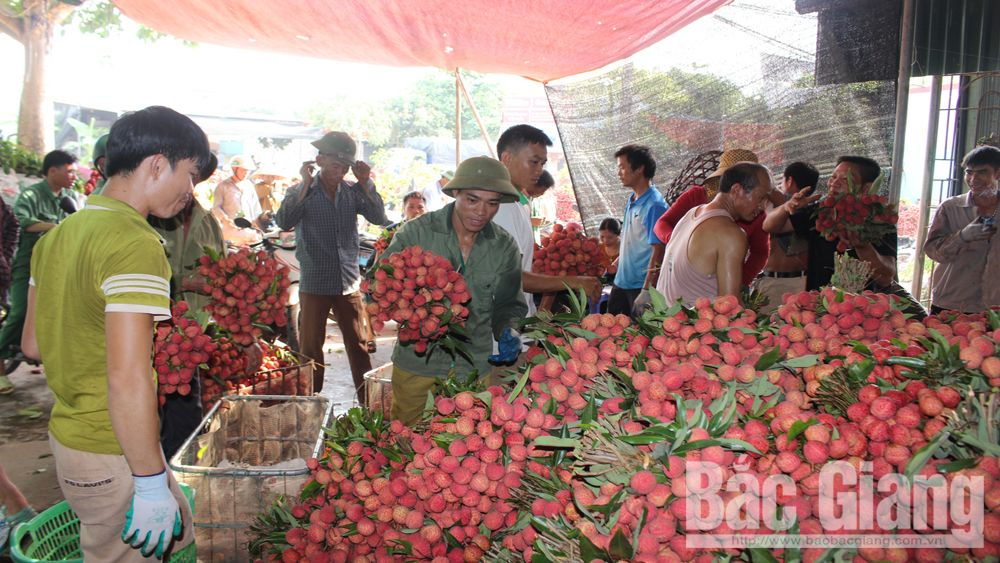 More than 500 purchasing points of lychee set up in Bac Giang