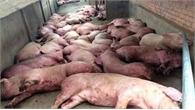 Xem xét hỗ trợ khẩn cấp cho dân có lợn mắc dịch tả châu Phi