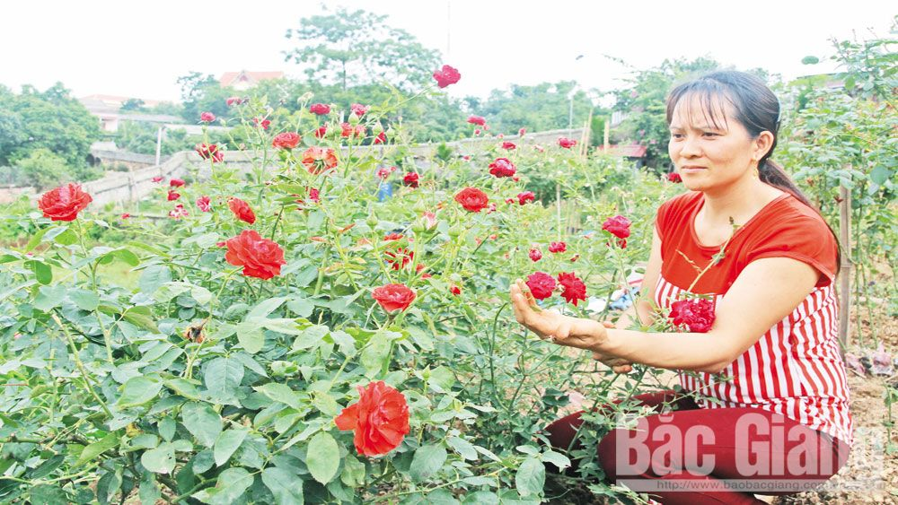"Rose gardens loved by ""Ten thousand people"""