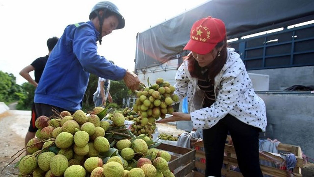 fresh lychee, Tan Thanh border gate,  China, Lang Son province, customs clearance, main harvest, fresh lychees
