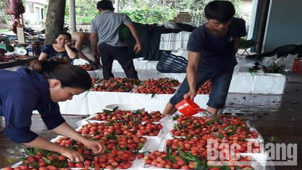 Lychee, stable selling price, Bac Giang province, Luc Ngan district, early ripen lychee, big quantity,  major urban cities