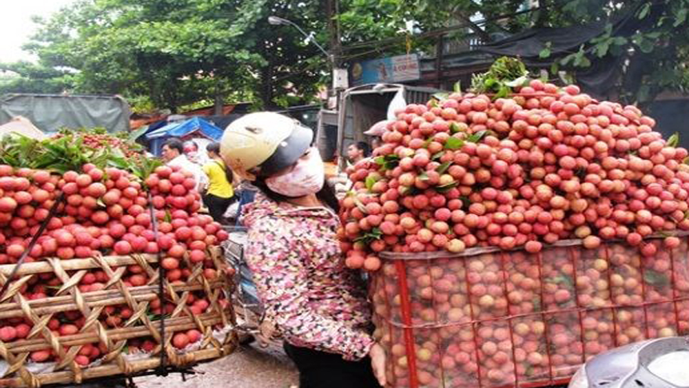 Vietnam, second largest exporter of lychees, global market share, International Society for Horticultural Science, lychee plantations, harvest season