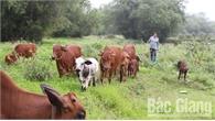 Hội Chăn nuôi bò xã Đồng Sơn (TP Bắc Giang): Cách làm mới, hiệu quả cao