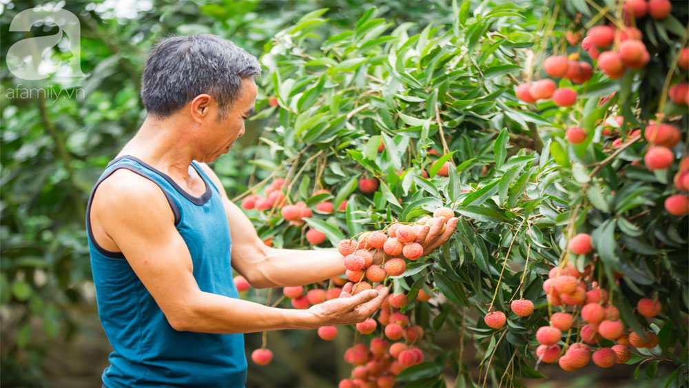 vải thiều Bắc Giang, mất mùa, nông dân, vui như trẩy hội, bán được giá cao