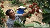 Bắc Giang: Xuất khẩu 9 tấn vải thiều sang Mỹ và Australia