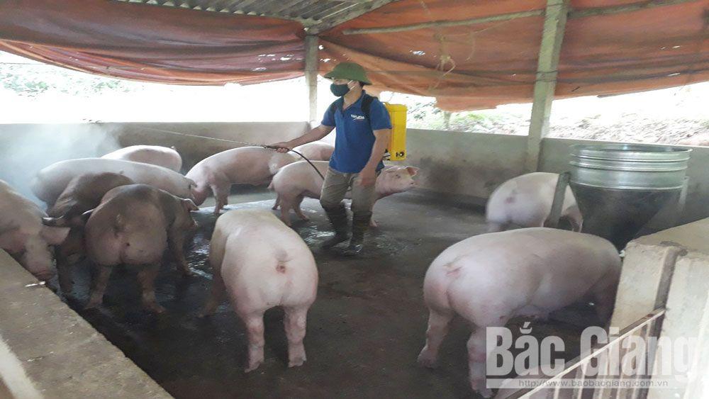 bệnh dịch tả lợn châu Phi, lợn, chăn nuôi lợn, Bắc Giang,
