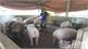 Phòng, chống bệnh dịch tả lợn châu Phi tại Tân Yên, Yên Thế: Chính quyền,  người dân sâu sát
