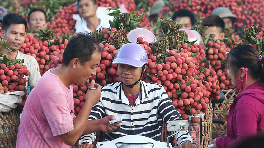 Vietnam farmers enjoy lychee export price surge
