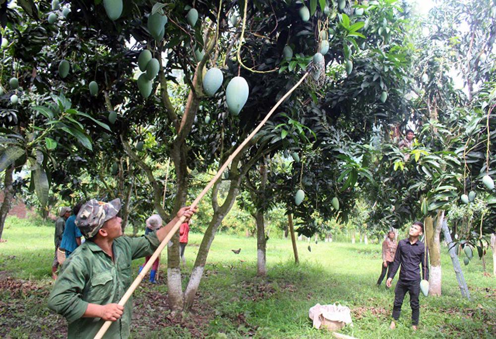Son La mangoes, demanding markets, fastidious markets, mango crop, UK market, Yen Chau mangoes, sustainable consumption, clean cultivation process