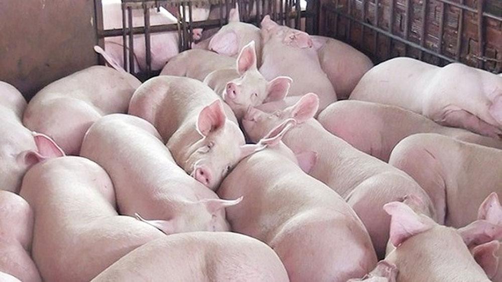 Miền Nam, chuyển lợn hơi ra miền Bắc, giá tiếp tục giảm, giá thịt lợn