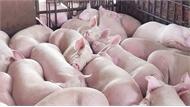 Miền Nam chuyển lợn hơi ra miền Bắc, giá tiếp tục giảm