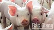 Bắc Giang: Bắt giữ, tiêu hủy 170 con lợn giống