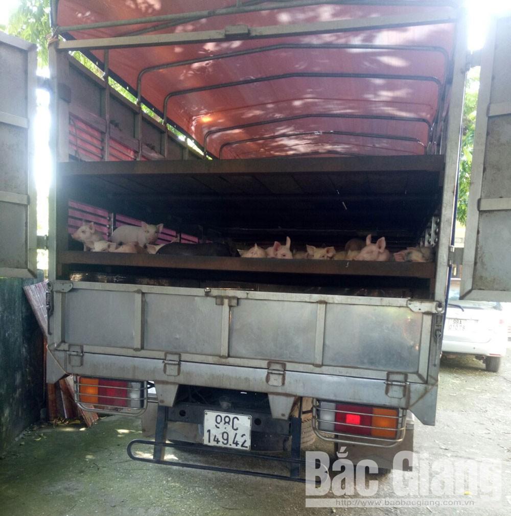 phòng, chống bệnh dịch tả lợn châu phi, Bắc Giang: Bắt giữ, tiêu hủy 170 con lợn giống