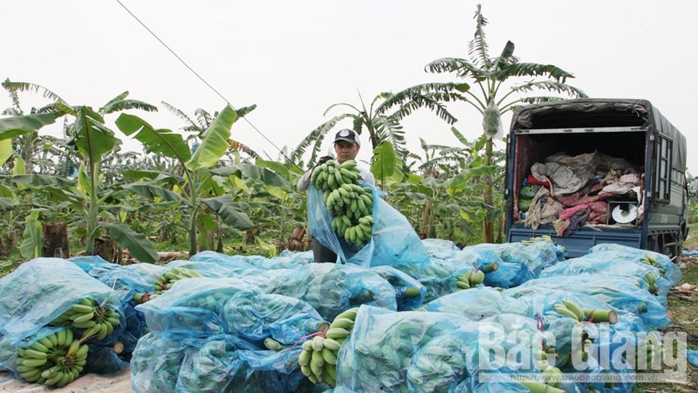 Bắc Giang, vùng chuối nguyên liệu, vải thiều, cây có múi, xuất khẩu