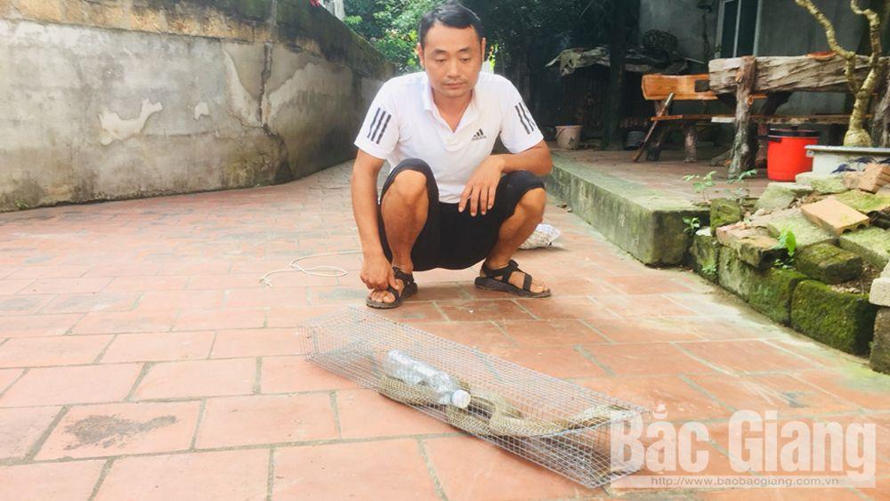 Bắt rắn hổ mang, Rắn hổ mang khủng ,Phường Đa Mai, TP Bắc Giang