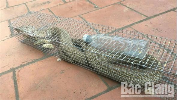 Bắc Giang: Người dân bắt được cặp rắn hổ mang nặng hơn 6 kg