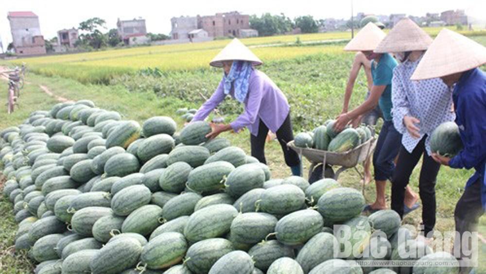 Dưa hấu Lục Nam cho thu gần 700 triệu đồng/ha