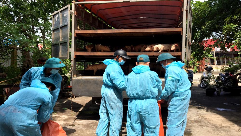 Hoàn thành tiêu hủy, lợn giống bị bắt giữ, dịch tả lợn châu Phi, Tân Yên