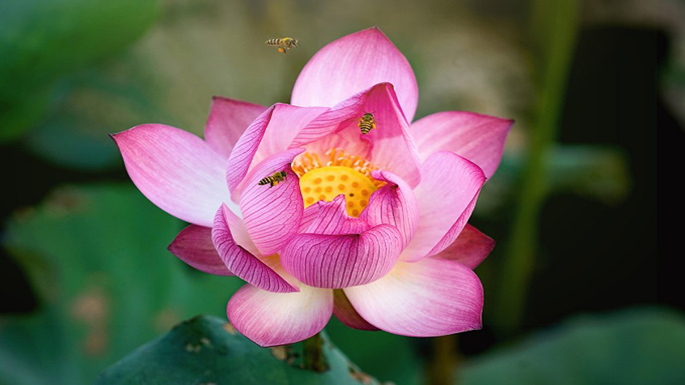 Lotus season attracts selfie bees