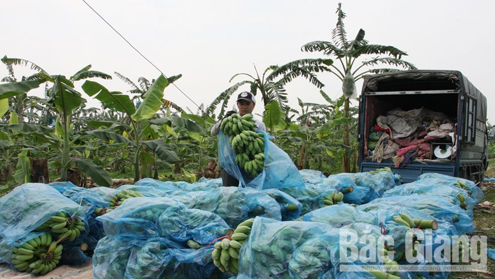 Bac Giang province, banana cultivation area, short term fruit tree, high income, post harvest products, bumper crop, high economic value, new intensive cultivation