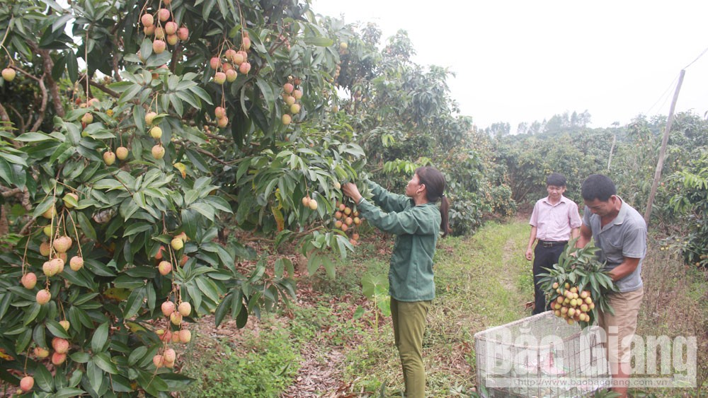 Bac Giang province, competitive advantages, lychee and hill chicken,  national farm produce criteria, international markets, technical requirement, socio-economic development, lychee cultivation area