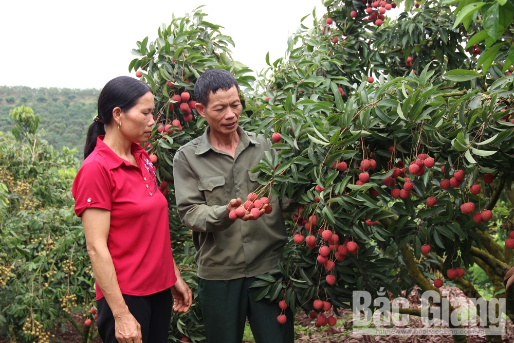2019 lychee crop, Bac Giang province, Increased quality and efficiency, successful crop, highest economic efficiency, food safety and hygiene, VietGAP and GlobalGAP standards