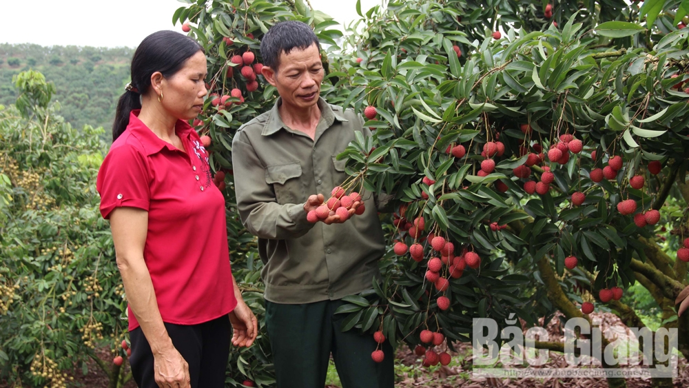2019 lychee crop: Increased quality and efficiency