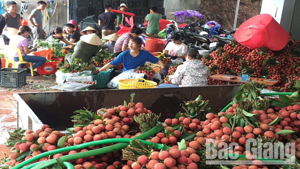 Late ripen lychee, high selling price, Bac Giang province,  fresh lychee,  best quality, different climate and geological conditions
